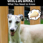 whippet dog wondering about cheesecake.